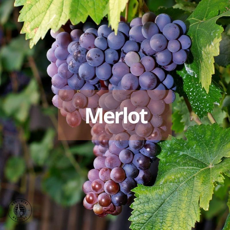 giống nho làm rượu vang đỏ đứng thứ hai trên thế giới