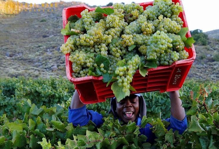 Niên vụ nho giúp đánh giá chất lượng rượu vang Pháp