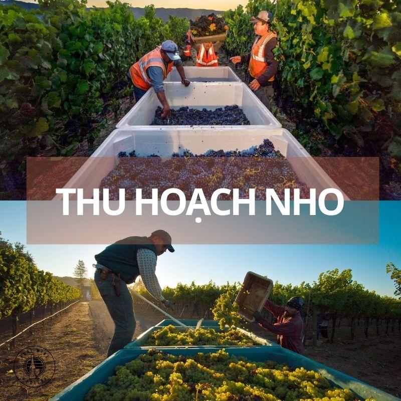 Quy trình thu hoạch nho làm rượu vang
